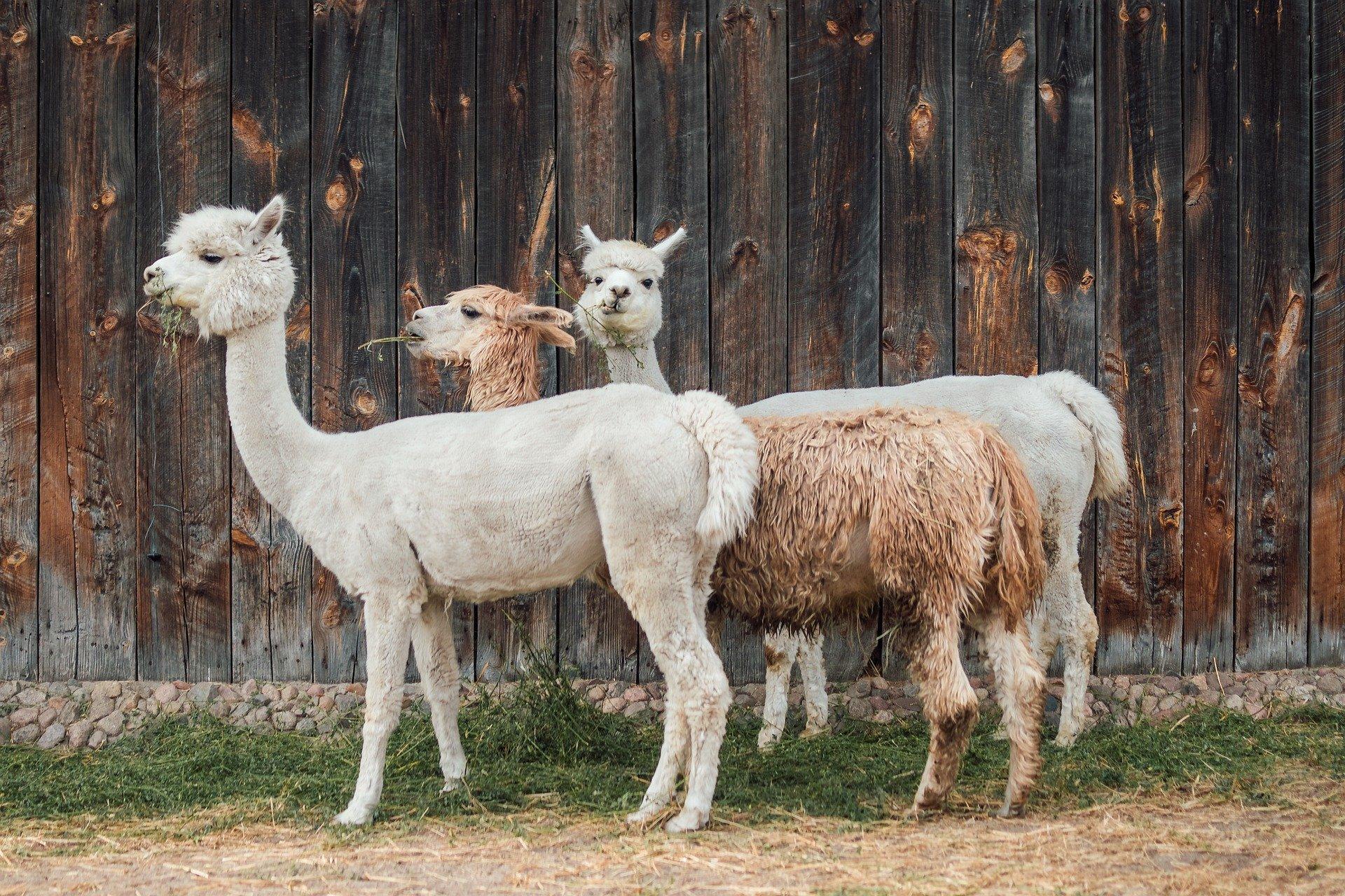 alpaca-4357188_1920
