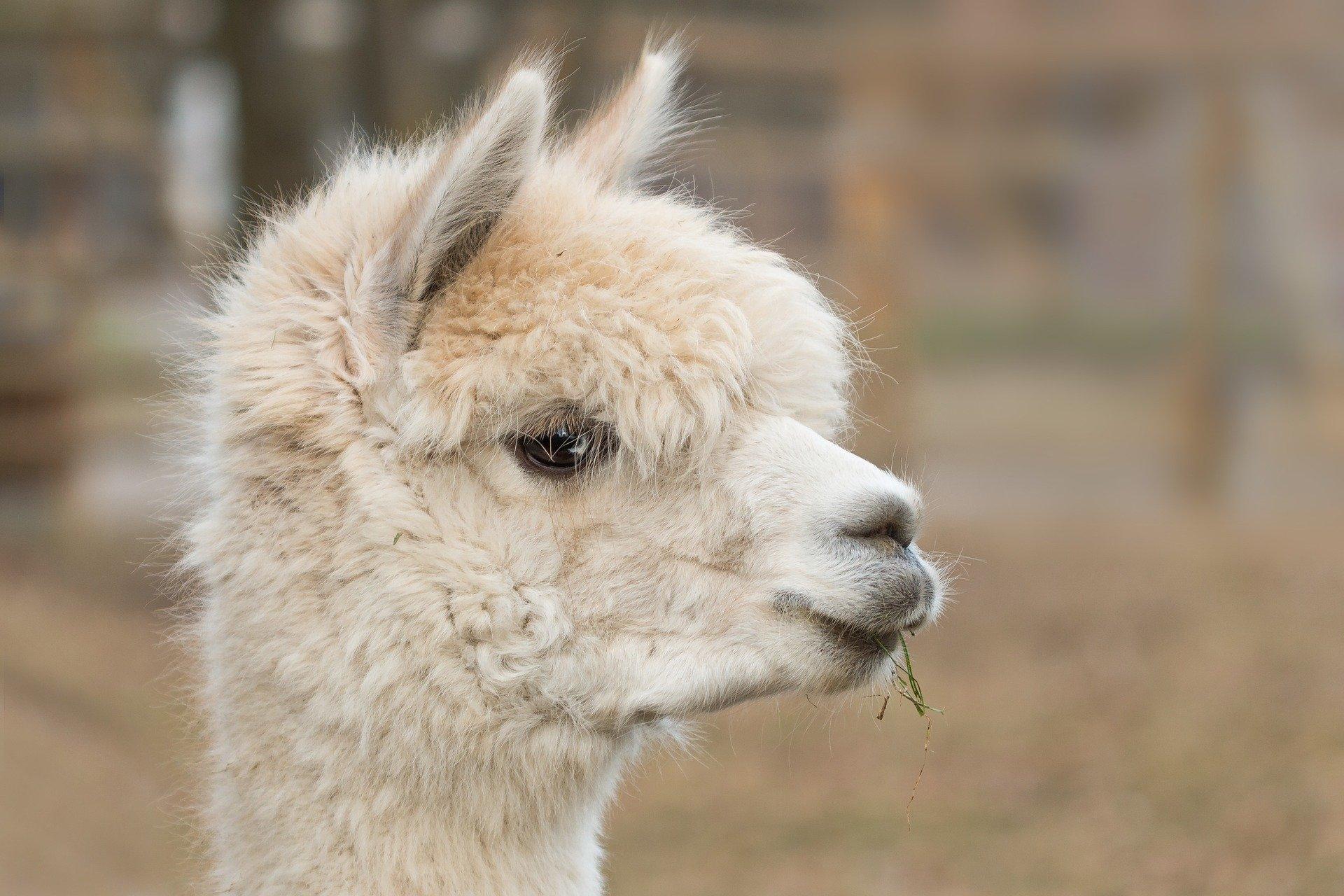 alpaca-814953_1920